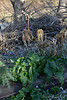 The late, great Solanum.  Edgeworthia can finally breathe....