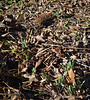 Emergence of unknown snowdrop, N of shade room