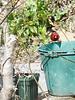 A cardinal tending to his bucket list