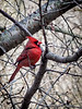 Cardinal on Tai-haku.  Blurring is from the extreme zoom.... the bird is actually in focus in real life.