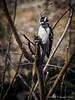 Male(?) hairy woodpecker