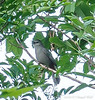 Gray Catbird...very musical