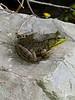 Mmm,  mmm, grenouille...... Frogs legs on the flipper....ain't got hooves.
