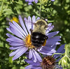 Getting buzzed on an aster