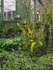 Kerria japonica 'Golden Guinea', in front of henhouse,  near SW corner of greenhouse.
