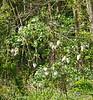 White lilac S lawn