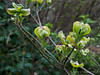 Cornus florida    resembles ssp Urbiniana