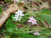 Ipheion mix, S of library walk