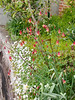 Ipheion, library stairs, and Aquilegia canadense-or-hybr-thereof