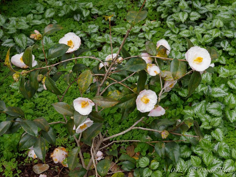 Camellia, Crater