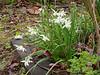 Narcissus 'Thalia' courtyard