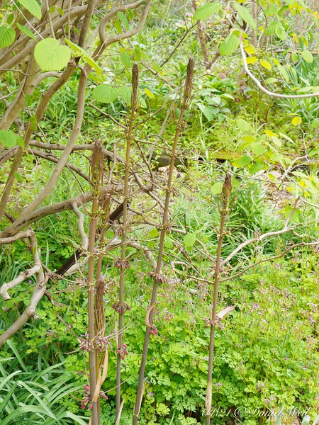 Transplanted main clump of Polygonatum kingianum, under Corylopsis, in courtyard