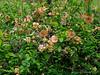 Flowering quince, Hellebore Alley