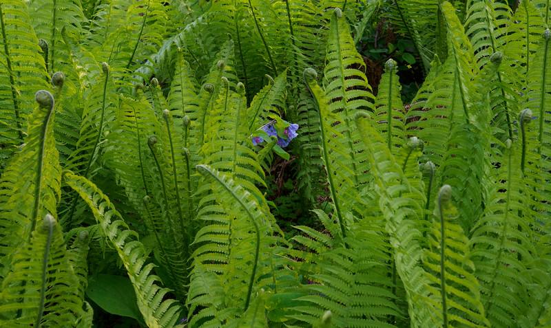 Ferns and Va. bluebells, Dan's studio garden
