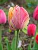 Gudoshnik tulips, S hesperides terrace
