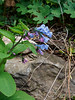 Bluebells, S of small arbor