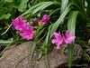 Small azalea, N walk, just E of small arbor