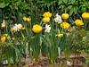 Double yellow tulips, gravel walk, Hesperides terrace