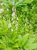 Spanish woods hyacinths, Hesperides we think
