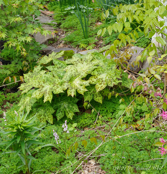 Spotty Dotty, Japanese maple in pot, volunteer Spanish bluebells and tiger lilies.