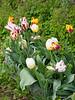 Tulips S of guest room