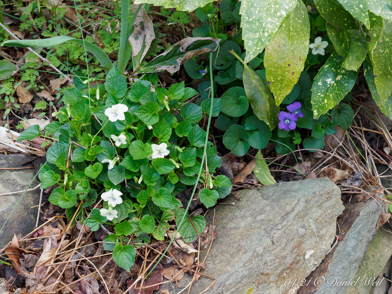 White violets ex MAF and a blue that I really should rogue out.  N walk