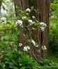 Fragrant viburnum, hellebore alley