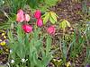 White blue eyed tulips and large Gudoshnik tulips, S hesperides terrace