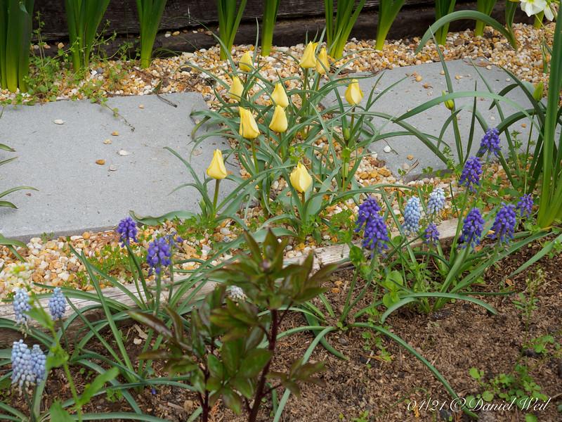Mini tulips and Muscari, Hesperides gravel walk and third terrace