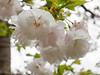Tai-haku cherry