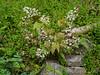 Spiny leafed Epimedium, E side hellebore stairs