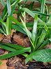 Grief and a half, Iris japonica in bud already.....
