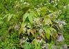 Spiny leafed Epimedium, hellebore stairs