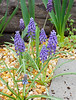 Grape hyacinths, gravel walk.  Lord knows why I did that, they are just fine, and multiply, in normal bed conditions.