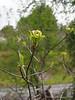 Cornus florida ssp. urbiniana