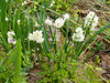 Narcissus W of large arbor
