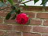 Camellia ex Lowes, N side of guest room