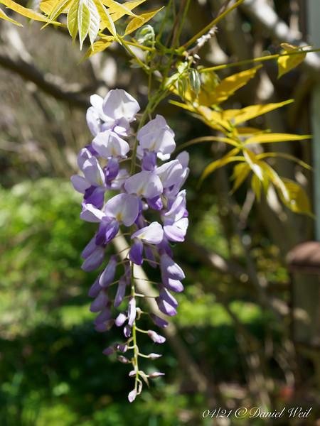 Chinese wisteria, small arbor