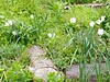 Daffodils, Hesperides terrace--