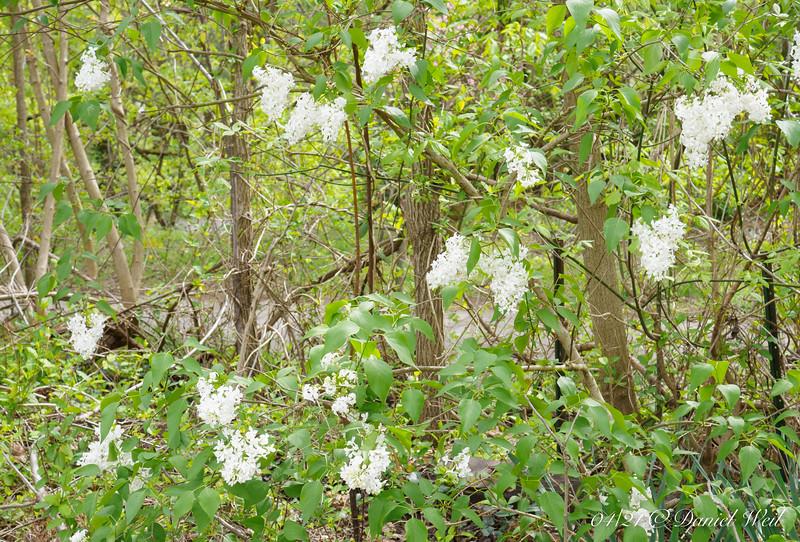 White lilac, S lawn