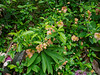 Flowering quince, Hellebore Walk