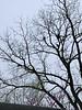 Vulture volante...... our big black walnut tree....