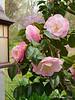Unknown camellia, Dan's studio door