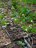Potted trilliums, under small arbor