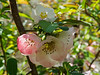 Flowering quince  'Cameo', N walk
