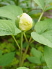 White Japanese woods peony, W side N alley.