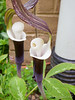 Arisaema sikkokianum ex Montrose Gardens SE corner library
