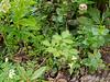 Hellebores, white Corydalis ochroleuca, Road Runner trillium, weeds