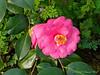 Camellia, E side dining room
