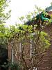 Oakleaf hydrangea, N side of guest room.